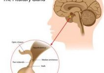The Pituitary Gland And HGH