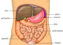 Human Abdomen Anatomy