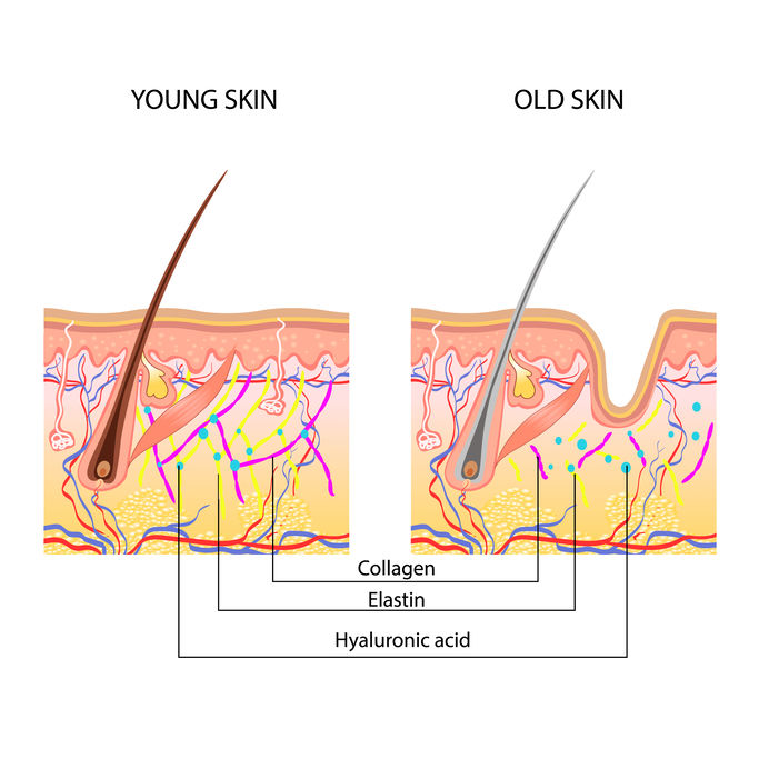 Anatomical Difference Between Young And Old Skin